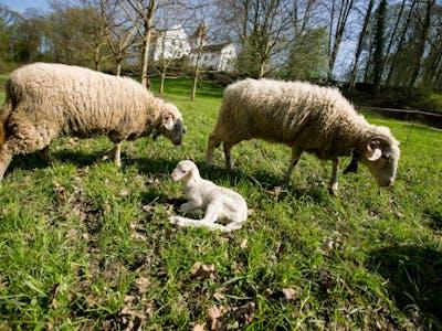 Schloss-Schafe